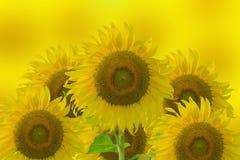 Jaskrawy żółty słonecznik i jaskrawy żółty tło fotografia royalty free
