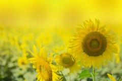 Jaskrawy żółty słonecznik i jaskrawy żółty tło obraz stock