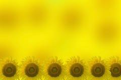Jaskrawy żółty słonecznik i jaskrawy żółty tło Obrazy Royalty Free