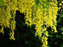 Jaskrawy żółty szczodrzeniec kwitnie obwieszenie od drzewa Obrazy Stock