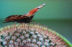Jaskrawy Admiral motyl na zielonym kaktusie obrazy royalty free