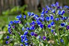 Jaskrawy błękit lasowi kwiaty Fotografia Royalty Free