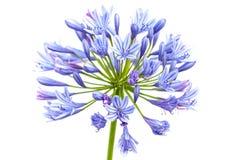 Jaskrawy błękitny agapantu kwiat Obraz Stock