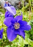 Jaskrawy błękitny kwiat Fotografia Royalty Free