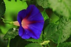 Jaskrawy błękitny kwiatu loach Zdjęcie Stock