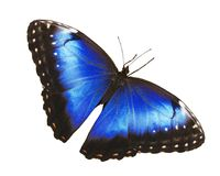 Jaskrawy błękitny morpho motyl odizolowywający na białym tle z rozciągniętymi skrzydłami Fotografia Stock