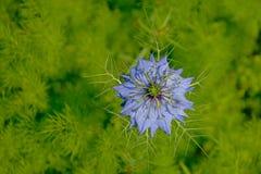Jaskrawy błękitny Nigella damasceny kwiat Fotografia Royalty Free