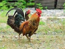 Jaskrawy barwiący cockerel w polu w wiośnie Obrazy Stock