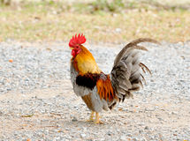 Jaskrawy barwiący cockerel w polu w wiośnie Obraz Royalty Free