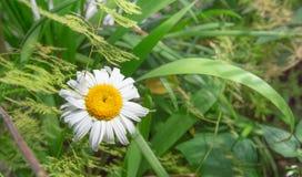 Jaskrawy Biały i Żółty kwiat Zdjęcia Royalty Free