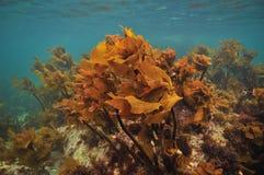 Jaskrawy brown kelp pod ocean powierzchnią Zdjęcia Royalty Free