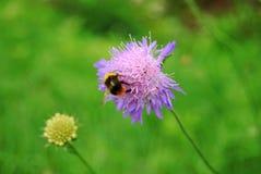 jaskrawy bumblebee Obrazy Royalty Free