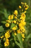 jaskrawy colour kwitnie narastającego dzikiego kolor żółty Fotografia Royalty Free