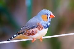 Jaskrawy Coloured Finch obraz royalty free