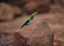 Jaskrawy coloured męski flatlizard przegląda swój środowisko od skały obraz royalty free
