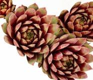 Jaskrawy Coloured Sempervivum na bielu Zdjęcie Royalty Free