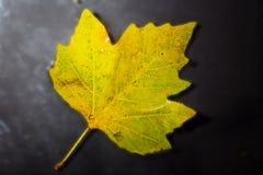 Jaskrawy colourful jesień liść unosi się w wodzie Obraz Stock