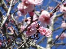 Jaskrawy cudowny czereśniowy okwitnięcie kwitnie kwitnienie w Kwiecień wiosny sezonie, Vancouver obrazy royalty free