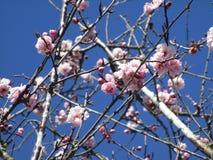 Jaskrawy cudowny czereśniowy okwitnięcie kwitnie kwitnienie w Kwiecień wiosny sezonie zdjęcia royalty free