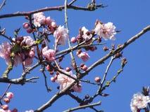 Jaskrawy cudowny czereśniowy okwitnięcie kwitnie kwitnienie w Kwiecień wiosny sezonie obraz royalty free