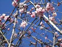 Jaskrawy cudowny czereśniowy okwitnięcie kwitnie kwitnienie w Kwiecień wiosny sezonie obrazy royalty free