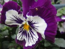 Jaskrawy cudowny purpurowy Pansy kwiatu kwitnienie w Kwiecień wiosny sezonie zdjęcia stock