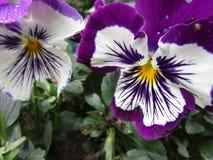 Jaskrawy cudowny purpurowy Pansy kwitnie kwitnienie w Kwiecień wiosny sezonie obrazy royalty free