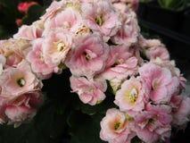 Jaskrawy cudowny różowy Kalanchoe kwitnie kwitnienie w Kwiecień wiosny sezonie obraz royalty free