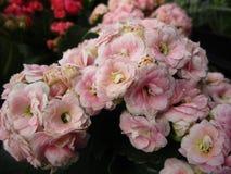 Jaskrawy cudowny różowy Kalanchoe kwitnie kwitnienie w Kwiecień wiosny sezonie zdjęcia royalty free