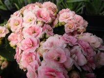 Jaskrawy cudowny różowy Kalanchoe kwitnie kwitnienie w Kwiecień wiosny sezonie obraz stock