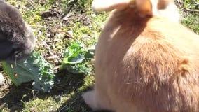 Jaskrawy cukierki światło - pomarańczowy młody królika królik z kale zamkniętym w górę 2019 zbiory wideo