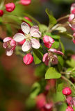 Jaskrawy czereśniowy okwitnięcie kwitnie w wiosny światła słonecznego makro- strzale Obraz Royalty Free