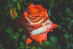 Jaskrawy czerwieni róży kwiat Zdjęcie Royalty Free
