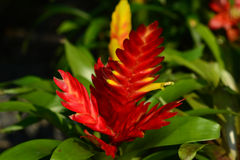 Jaskrawy czerwony ananas Fotografia Royalty Free