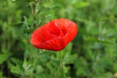 Jaskrawy czerwony dziki makowy kwiat na zielonym tle Zdjęcia Stock
