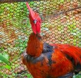 Jaskrawy czerwony kogut Obraz Royalty Free