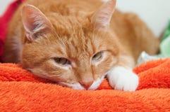 Jaskrawy czerwony kot w pluszowym miękkim pomarańczowym opakunku fotografia stock