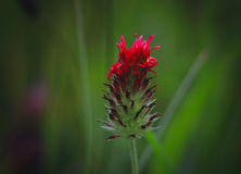Jaskrawy czerwony kwiat Obraz Royalty Free