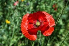 Jaskrawy czerwony maczek na tle zielona roślinność Zdjęcie Royalty Free