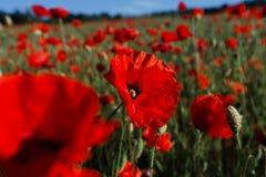 Jaskrawy czerwony maczka pole w lecie obrazy royalty free