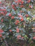 Jaskrawy czerwony rowan Fotografia Royalty Free