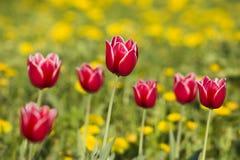 jaskrawy czerwony tulipan Fotografia Stock