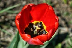 Jaskrawy czerwony tulipan z stamen przy kwieceniem Fotografia Royalty Free