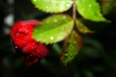 Jaskrawy czerwony tulipanowy kwiat po wiosna deszczu Pasyjny kwiat zdjęcia royalty free