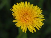 Jaskrawy Dandelion Zdjęcie Royalty Free