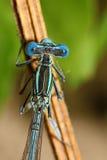 Jaskrawy Dragonfly na gałąź Zdjęcie Royalty Free