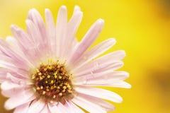Jaskrawy fiołkowy naturalny kwiatu zakończenie na zamazanym żółtym tle kosmos kopii Zdjęcie Royalty Free