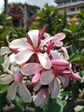 Jaskrawy frangipani patrzeje wygodnym obraz royalty free