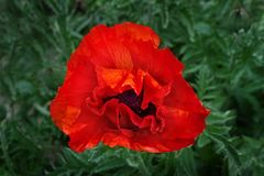 Jaskrawy gigantyczny czerwony makowy kwiat w wiośnie Fotografia Stock