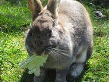 Jaskrawy i słodki popielaty Wielkanocnego królika królika chrupanie na kapuscie 2019 zdjęcia royalty free